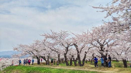 20180430 Hakodate sakura